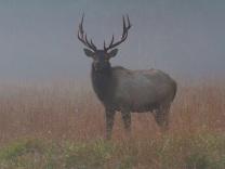 Foggy bull elk