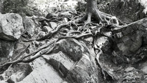 Borestone tree roots image